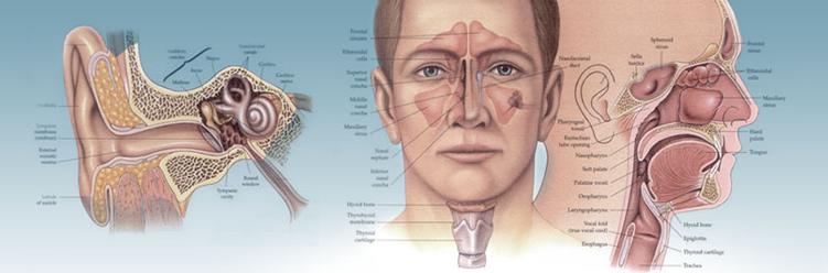 Ухо горло нос строение в картинках